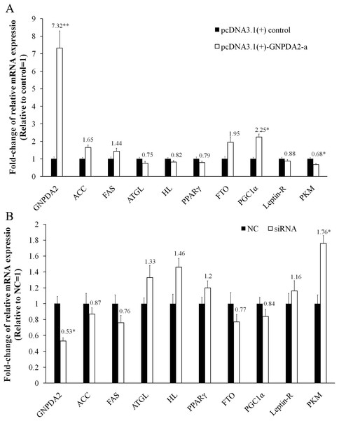 The changes of mRNA levels of related genes induced by cGNPDA2 overexpression (A) and siRNA interfering (B) in chicken preadipocytes.