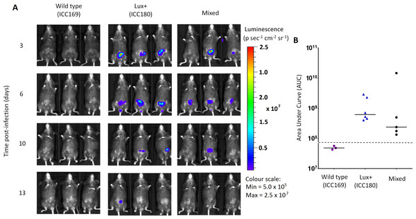 Despite having a fitness disadvantage in mixed infections of mice, ICC180 is still visible by biophotonic imaging.