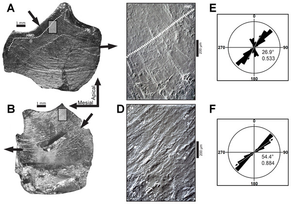Dental microwear on representative teeth of Leptoceratops gracilis (CMN 8889).