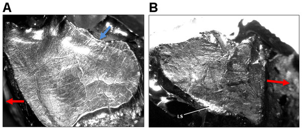 Light microscope images of dental microwear in additional specimens of Leptoceratops.
