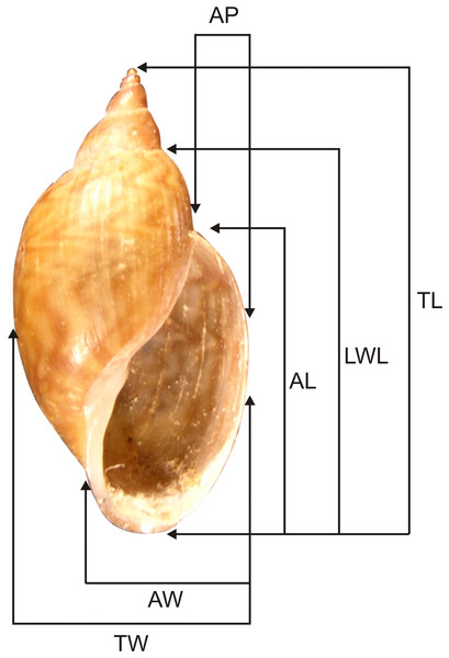 Shell measurements used for Chilinidae.