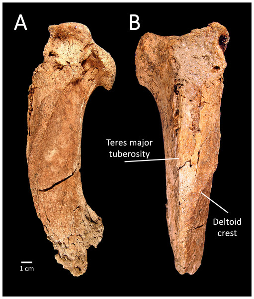 SBCM L3160-1018, proximal left humerus of Smilodon fatalis, lateral (A) and anterior (B) views.