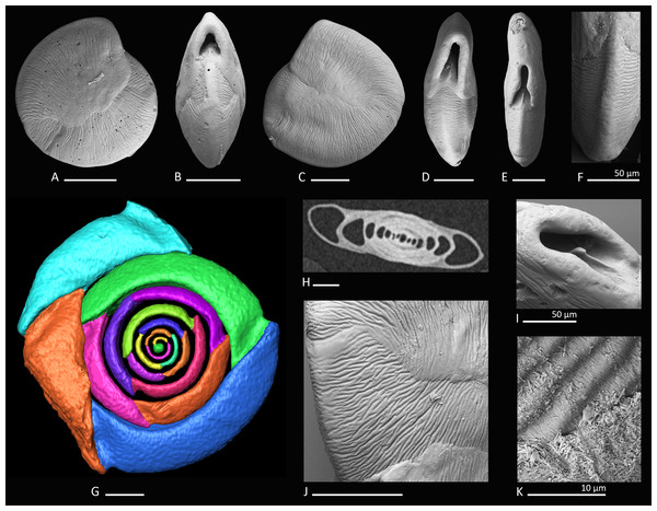 Holotype, paratype, CT scans and details of Dentoplanispirinella gen. nov. occulta sp. nov.