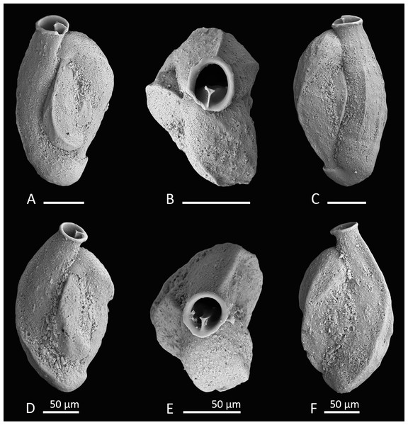 Holotype and paratype of Siphonaperta hallocki sp. nov.