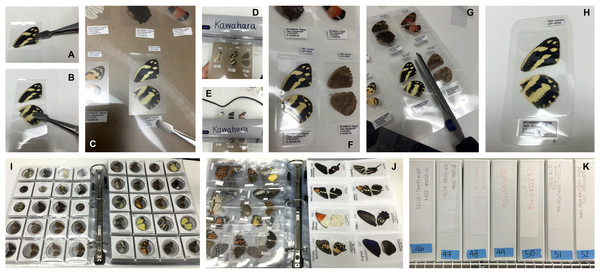 Preparation of large Lepidoptera wing vouchers (A–H).