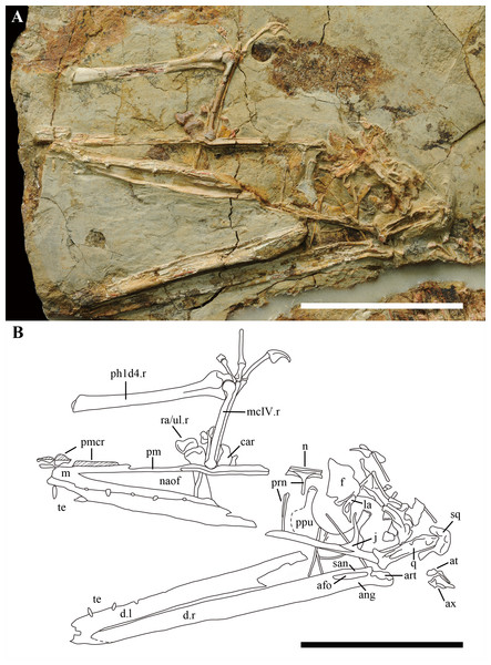 Details of the skull in IVPP V 17959.