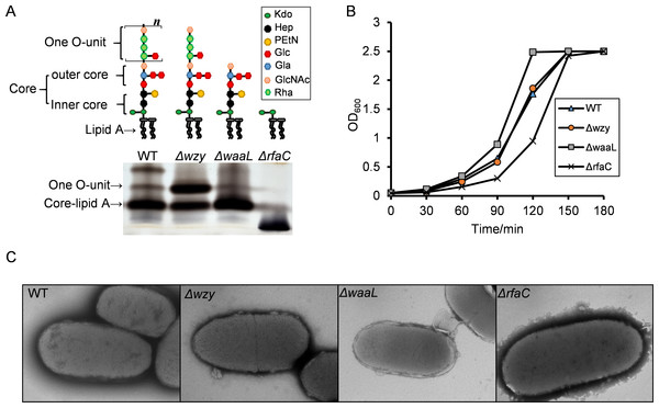 LPS structures, growth and TEM analysis of the Shigella flexneri LPS mutants in this study.