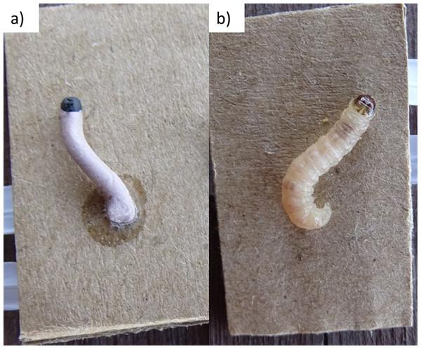 (A) plasticine larvae, (B) real codling moth larvae.