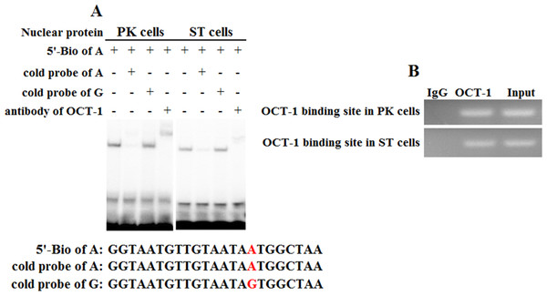 Binding of OCT-1 with KL intron 1 was analyzed by EMSA and ChIP.