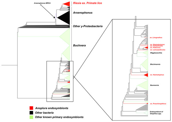Subset of large phylogenetic tree showing placement and close relatives of endosymbiotic bacteria in Anoplura.