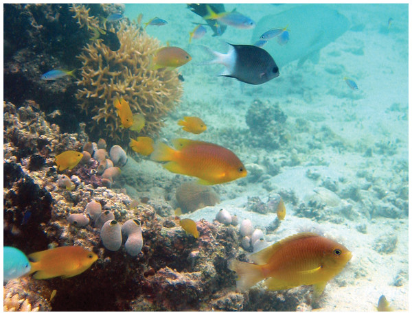 The Ambon damselfish, Pomacentrus amboinensis, have been used as a model fish for field and laboratory studies.