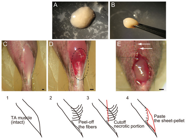 Macroscopic and schematic images of procedures used in MTJ complete rupture model preparation and sheet-pellet transplantation.