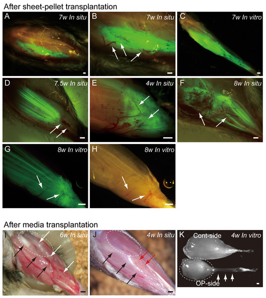 Macroscopic observation of surgically treated TA muscles at 5–10 weeks (W) after transplantation in situ and in vitro (after removal).