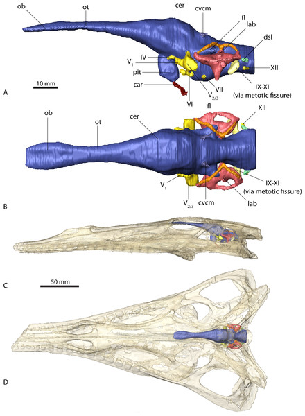 Endocranial anatomy of Parasuchus angustifrons (BSPG 1931 X 502).