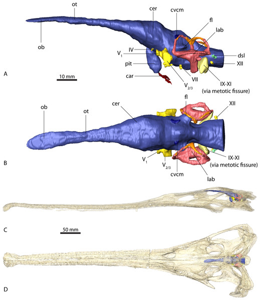 Endocranial anatomy of Ebrachosuchus neukami (BSPG 1931 X 501).