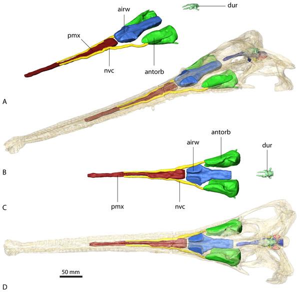 Paranasal sinuses of Ebrachosuchus neukami (BSPG 1931 X 501).