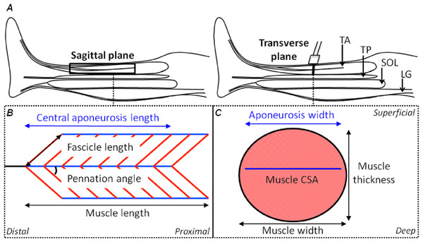 Schematic representations of the shank in the sagittal plane and the tibialis anterior muscle in the sagittal and transverse planes with its geometrical parameters defined.