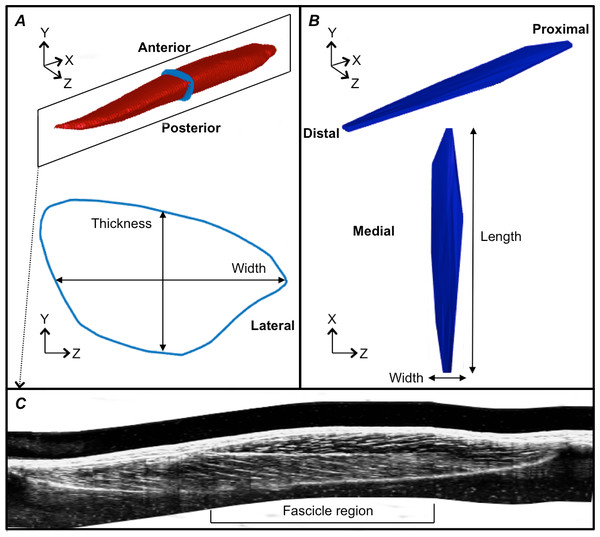Reconstructions of the tibialis anterior muscle belly, central aponeurosis and muscle fascicles at rest.