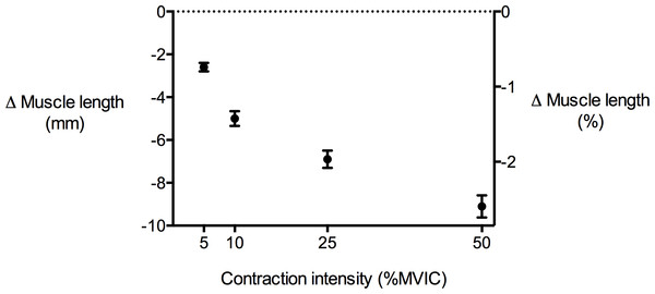 Tibialis anterior muscle length changes during isometric dorsiflexion contractions as a function of contraction intensity (% of maximal voluntary isometric contraction).
