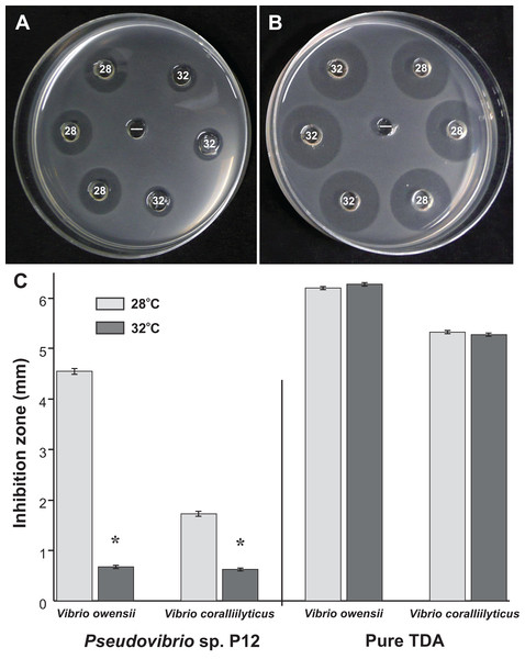 Representative well diffusion assays of (A) Pseudovibrio sp. P12 and (B) pure TDA, incubated at two different temperatures (28 and 32 °C) and then inoculated onto agar plates with embedded Vibrio owensii ((−) Negative control).