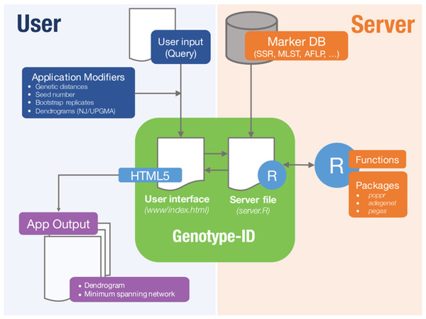 Diagram representing implementation of Genotype-ID, which is comprised of a user interface file (index.html) and a server file (server.R).