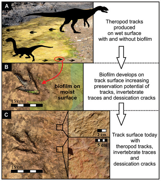 Model of the formation and preservation of tracks at the Mafube dinosaur track site.