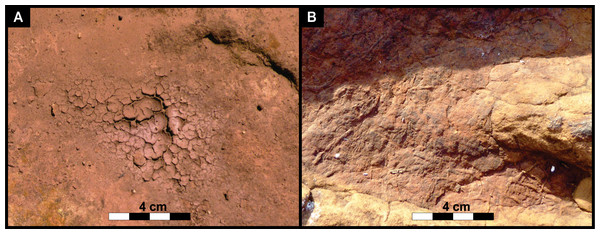 (A) Modern desiccation cracks within a thin, mud layer in the depression of an Lower Jurassic track at the study site. (B) Casts of ancient desiccation cracks that had been preserved inside the Lower Jurassic track.