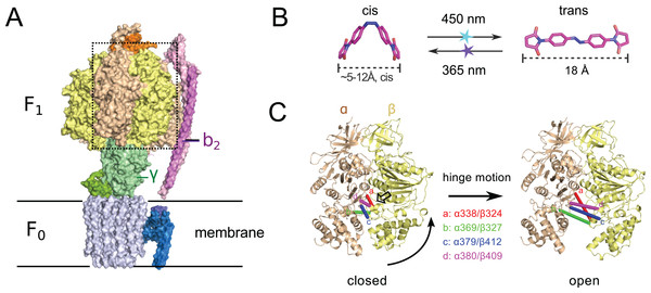 (A) Crystal structure of ATP synthase from Paracoccus denitrificans (Morales-Rios et al., 2015).