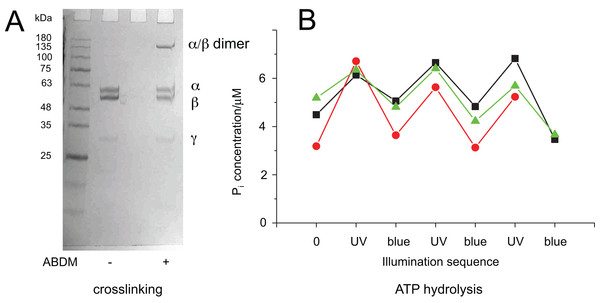 Light-dependent ATPase activity of ABDM-crosslinked F1 αA380C/βV409C.