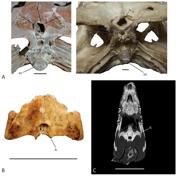 Ventral view of the internal choana of Crocodylus niloticus and Voay robustus.