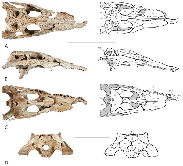Skull of UAP-03.791.
