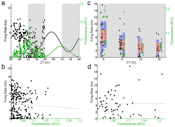 E-box driven gene expression and spontaneous firing rate are not correlated in individual Per1–/– SCN neurons.