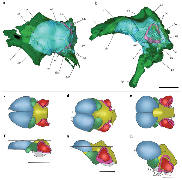 Cranial endocast and comparison of brain anatomy in pterosaurs.