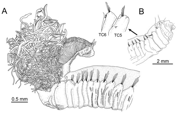 Line drawings of the species of Terebellides.