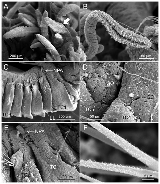 SEM micrographs of paratypes from Thailand and Myanmar.