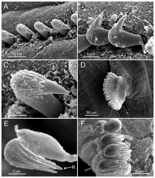 SEM micrographs of paratypes from Thailand and Myanmar, Cont.