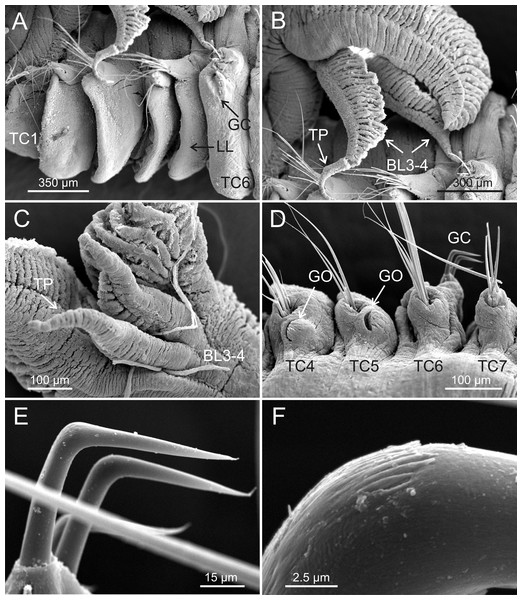 SEM micrographs of paratypes from Myanmar.