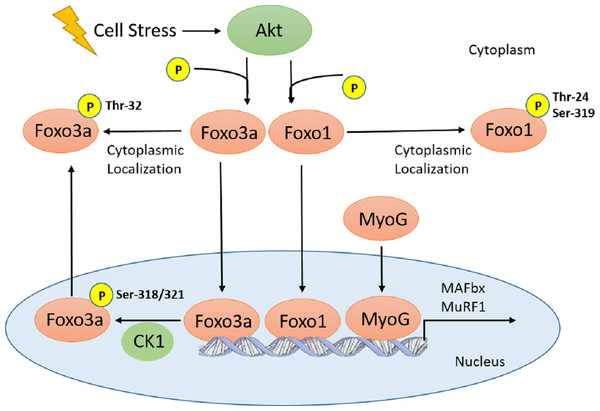 Schematic of Akt regulation of Foxo1 and Foxo3a activity.