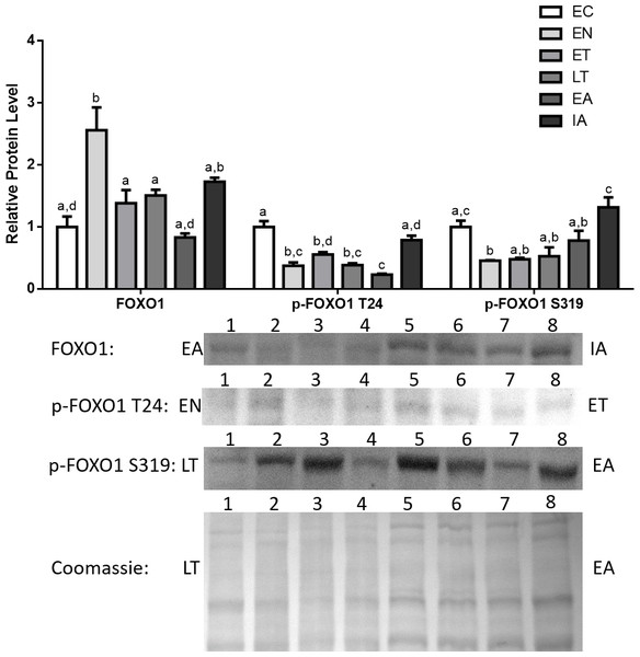 Changes in the protein levels of the Foxo1 transcription factor and its phosphorylated forms Ser319 (S319) and Thr24 (T24) over the course of the torpor-arousal cycle in cardiac muscle of I. tridecemlineatus.