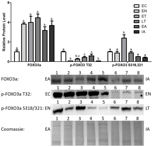 Changes in protein levels of the Foxo3a transcription factor and its phosphorylated forms Ser318/321 (S318/321) and Thr32 (T32) over the course of the torpor-arousal cycle in the cardiac muscle of I. tridecemlineatus.