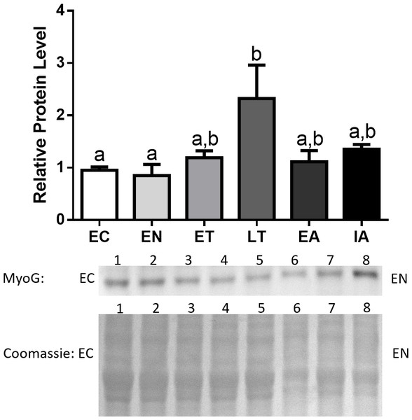 Changes in protein levels of MyoG over the course of the torpor-arousal cycle in the cardiac muscle of I. tridecemlineatus.