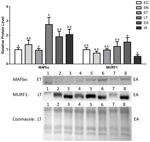 Changes in protein levels if the ubiquitin ligases MAFbx and MuRF1 over the course of the torpor-arousal cycle in the cardiac muscle of I. tridecemlineatus.
