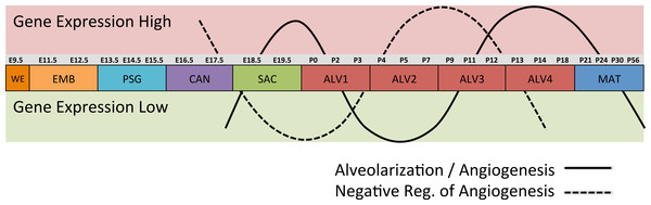 Post-natal expression patterns of genes associated with alveolarization and angiogenesis.