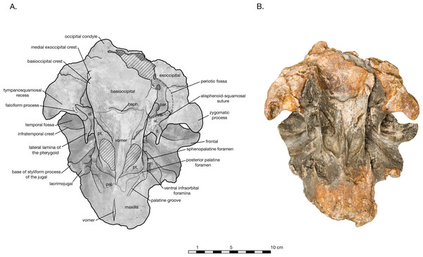 Skull of Arktocara yakataga (USNM 214830) in ventral view.