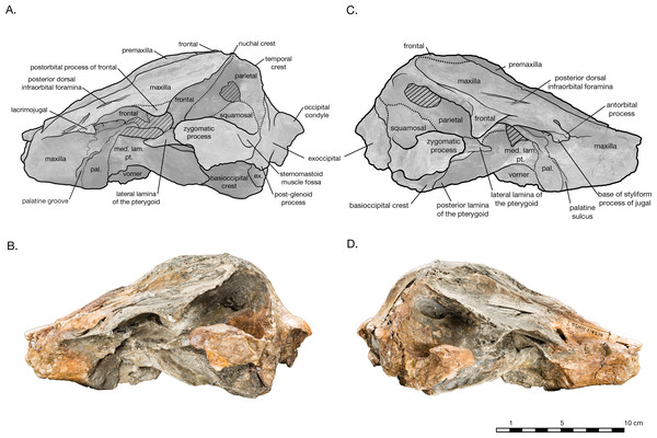 Skull of Arktocara yakataga (USNM 214830) in left (A, B) and right (C, D) lateral views.