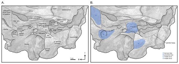 Skull details & sinus system of Arktocara yakataga (USNM 214830).