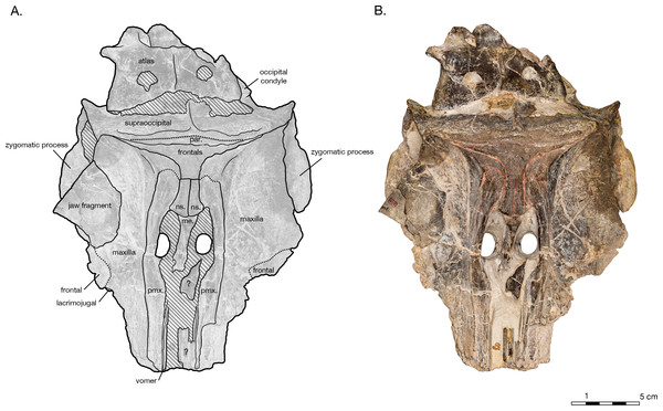 Skull of the holotype of Allodelphis pratti (YPM 13408) in dorsal view.