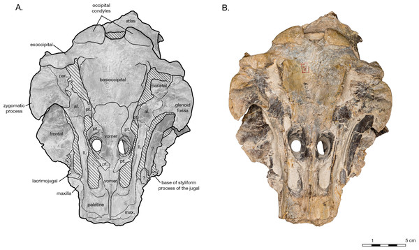 Skull of the holotype of Allodelphis pratti (YPM 13408) in ventral view.