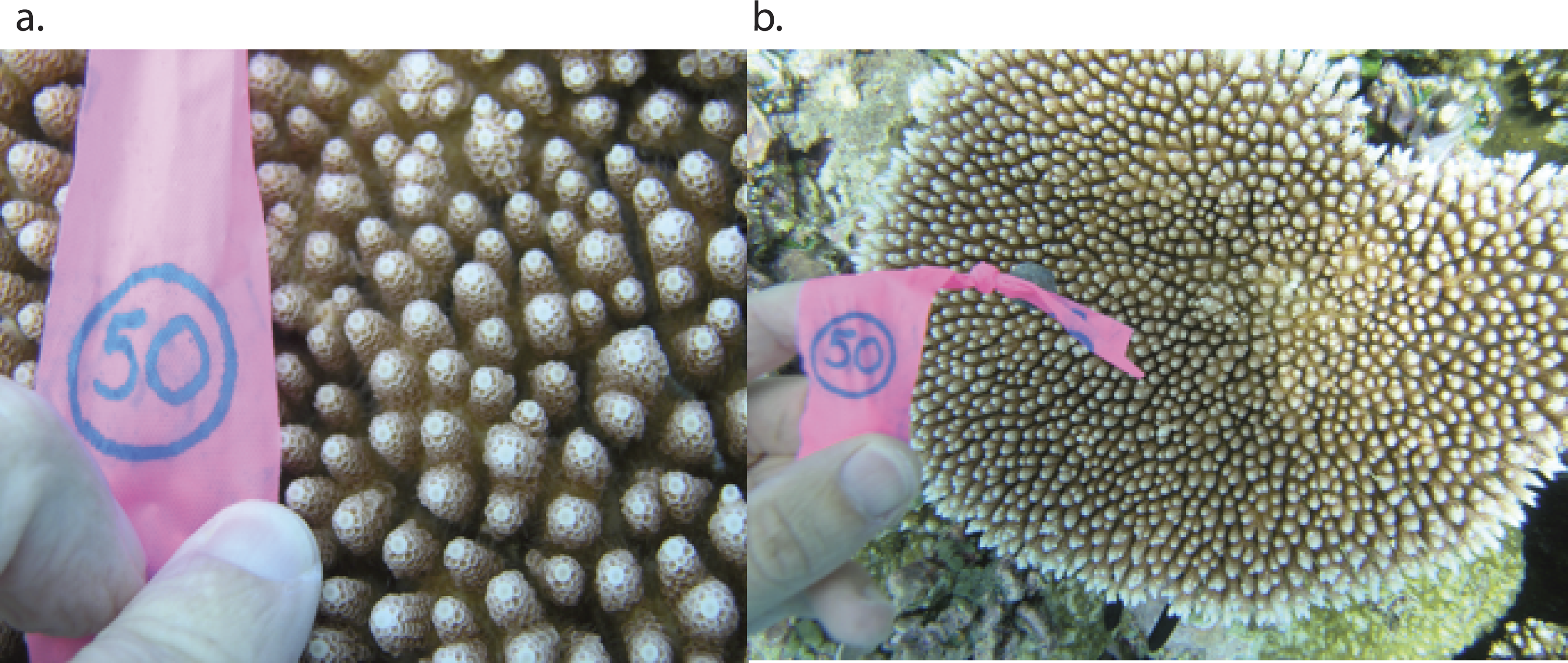Population genetic structure between Yap and Palau for the coral