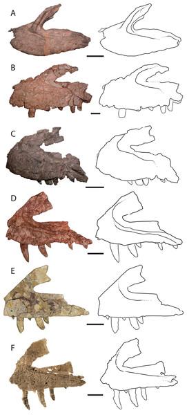 Left lateral views and interpretive drawings of the maxillae of (A) Batrachotomus kupferzellensis (SMNS 52970), (B) Fasolasuchus tenax (PVL 3851), (C) Polonosuchus silesiacus (ZPAL AbIII/563), (D) Postosuchus kirkpatricki (TTU-P 9000), (E) Teratosaurus suevicus (NHMUK 38646; reversed), and (F) Vivaron haydeni gen. et. sp. nov. (GR 263; reversed) emphasizing the antorbital fossa.
